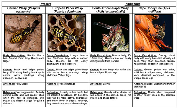 Wasp ID guide Version 3 Page 1LR